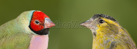 beautiful, bird, with, red, face, looking - 29778474