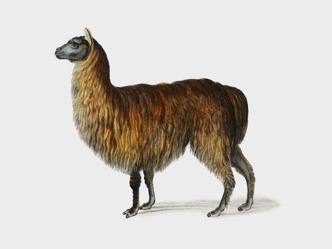 alpaca, animal, antique, artwork, charles, d' orbigny - D37546668