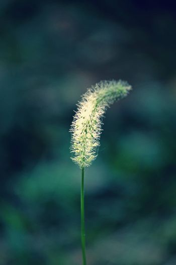 Bristles, Bristly foxtail, Famine food, Hooked bristlegrass, Inflorescence, Panicle - D15480724